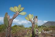 Prickly pear cactus on Santiago island, Galapagos islands, Ecuador.