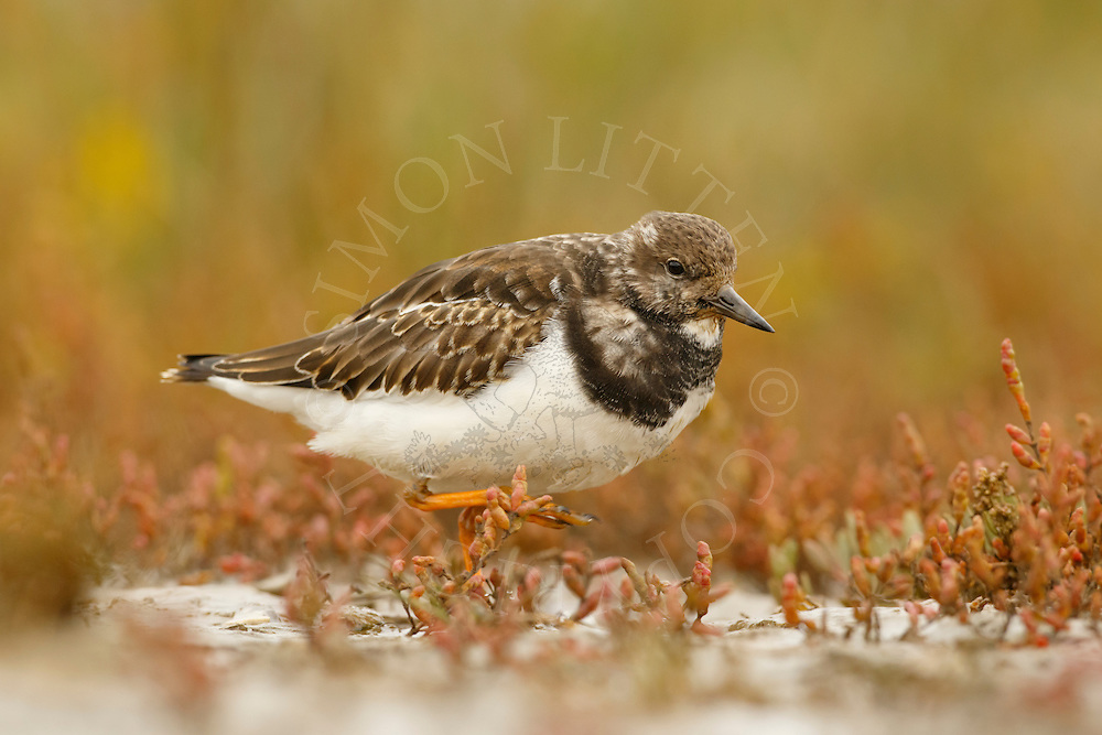 Ruddy Turnstone (Arenaria interpres) adult, non-breeding plumage, walking on salt marsh, Norfolk, England