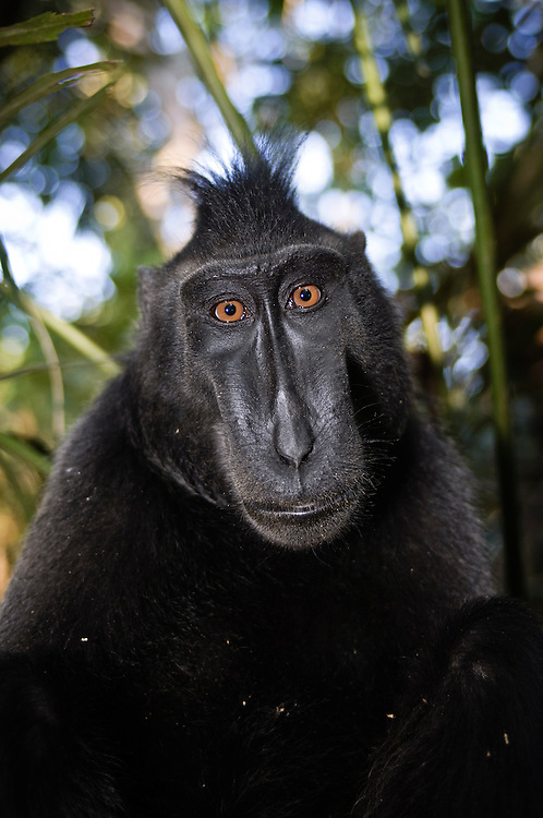 Celebes or crested black macaque, Tangkoko National Park, Sulawesi, Indonesia.
