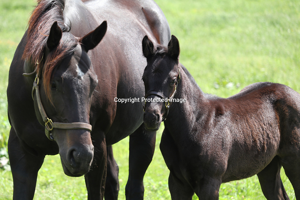 A beautiful dark bay mare and foal in Lexington Kentucky