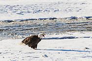 Bald Eagle (Haliaeetus leucocephalus) vocalizing along the Chilkat River in the Chilkat River Bald Eagle Preserve in Southeast Alaska. Winter. Afternoon.
