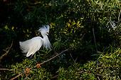 Reddish Egret (Egretta rufescens) White & Dark Morph