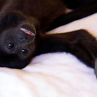 Central America, Costa Rica, Tamarindo. a tame Howler Monkey on bed.