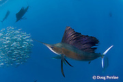 Atlantic sailfish, Istiophorus albicans, attacking bait ball of Spanish sardines (aka gilt sardine, pilchard, or round sardinella ), Sardinella aurita, off Yucatan Peninsula, Mexico ( Caribbean Sea )