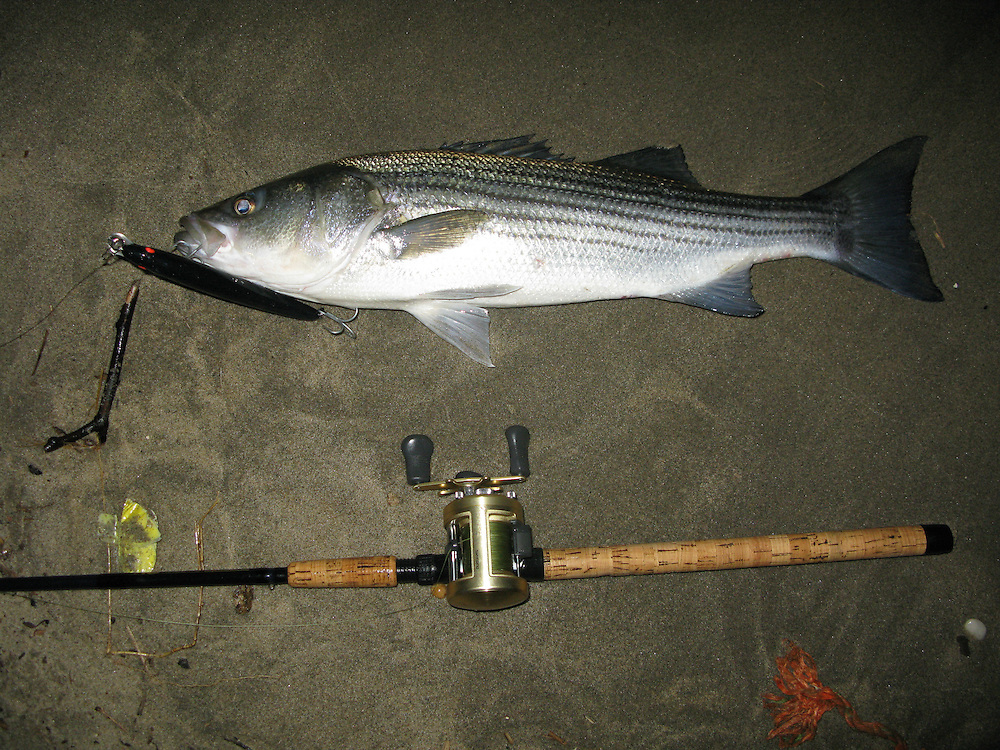 A striped bass taken from the surf of Sandy Hook Gateway National Park New Jersey.  An all black bomber plug took this nice 34 inch bass.