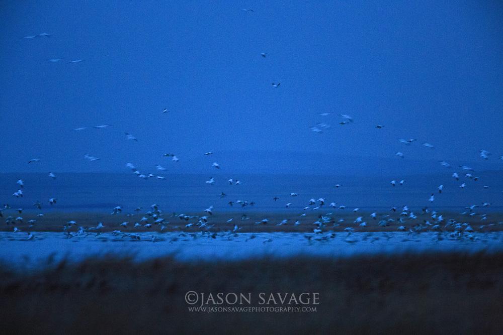 Snow Geese predawn on Freezeout Lake, Montana