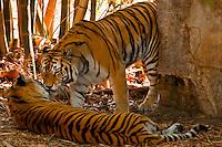 Bengal tigers, Maharajah Jungle Trek, Disney's Animal Kingdom, Walt Disney World, Orlando, Florida, USA