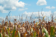 View of a tasseled corn field against a cloudy, blue sky in Missouri.