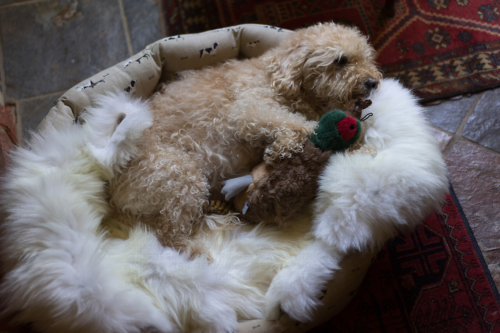 Labradoodle in bed