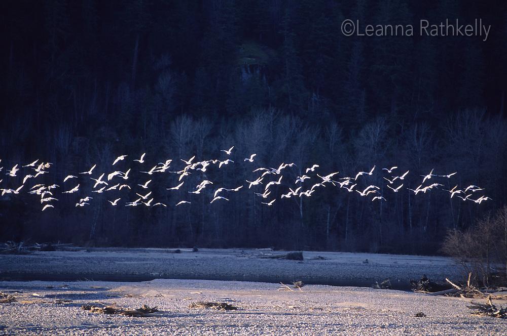 Seagulls fly over the Mamquam River, Squamish BC