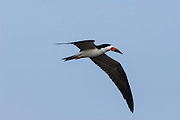 Black Skimmer (Rynchops nigra)<br /> Orinoco River, north of Puerto Ayacucho. Apure Province, VENEZUELA. South America.<br /> Found in large flocks along the sea coast and larger rivers.