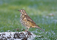 Mistle Thrush Turdus viscivorus L 27cm. Appreciably larger than Song Thrush. Unobtrusive but has distinctive call and song. Sexes are similar. Adult has grey-brown upperparts with hint of white wingbar. Underparts are pale with large dark spots and flanks are washed orange-buff. In flight, note white underwings and white tips to outer tail feathers. Juvenile is similar but back has white, teardrop-shaped spots. Voice Utters a loud, rattling alarm call. Song contains brief phrases and long pauses; often sung in dull weather. Status Fairly common resident of open woodland, parks and mature gardens. Observation tips Listen for distinctive song in breeding season; often sings on rainy days. Individuals defend berry-laden Holly bushes in winter.