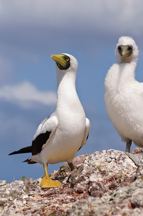 Masked Booby, Sula dactylatra, adult and chick at nest on Redonda, Eastern Carribbean