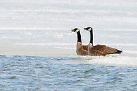 A pair of Canadian Geese rests on the ice of a marsh pond that is starting to melt and expose water.