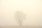 Cottonwood in fog<br /> DUgald<br /> Manitoba<br /> Canada