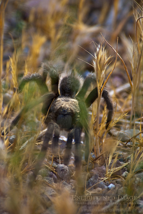 Tarantula spider, Death Valley National Park, California