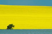 Canola, flax and tree<br /> Treherne<br /> Manitoba<br /> Canada