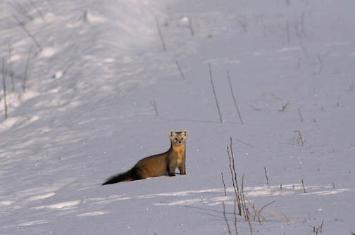 Pine Marten, (Martes americana) Hunting in the wilds of southern Canada.