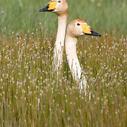 A pair of Whooper Swans keep watch above the reeds for potential danger to their young