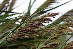 29 Jul 2011:  common reed grassin McLean County Illinois, USA