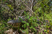 ALLIGATORS: BIG CYPRESS RESERVE