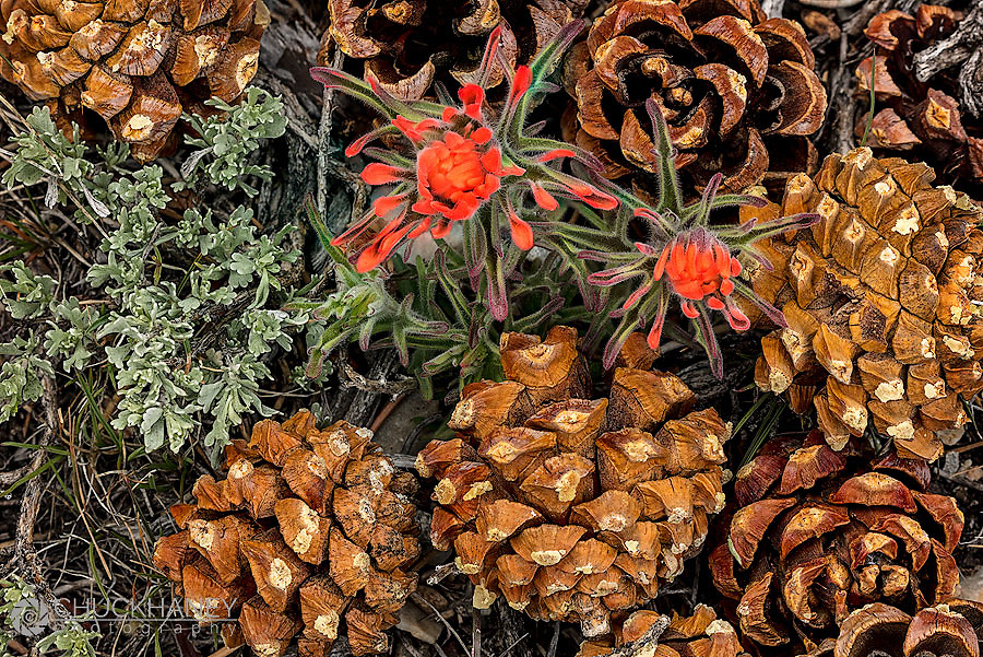 Indian Paintbrush and pine cones in Great Basin National Park, Nevada, USA