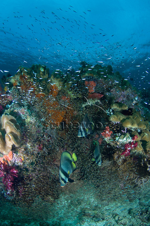 Huge numbers and variety of fish surrounding a coral encrusted rock, Raja Ampat Islands, West Papua, Indonesia.