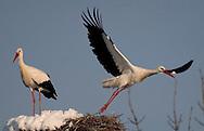 Alberto Carrera, Narural Colors Exhibition, White Stork, Ciconia ciconia, Segovia, Castilla y León, Spain, Europe.
