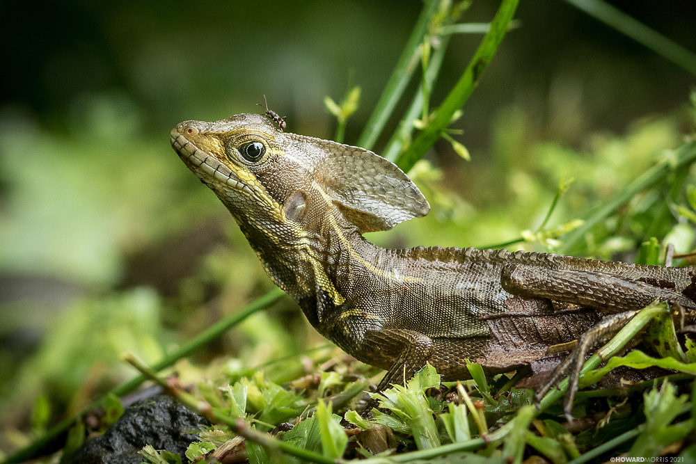 The brown basilisk or striped basilisk (Basiliscus vittatus), grows up to 2 feet in length. Native to Central America and Northern Colombia, the basilisk is an omnivorous reptile usually found near water. La Selva, Costa Rica.