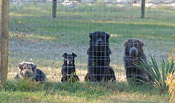 Four mixed breed dogs looking out from behind a fence