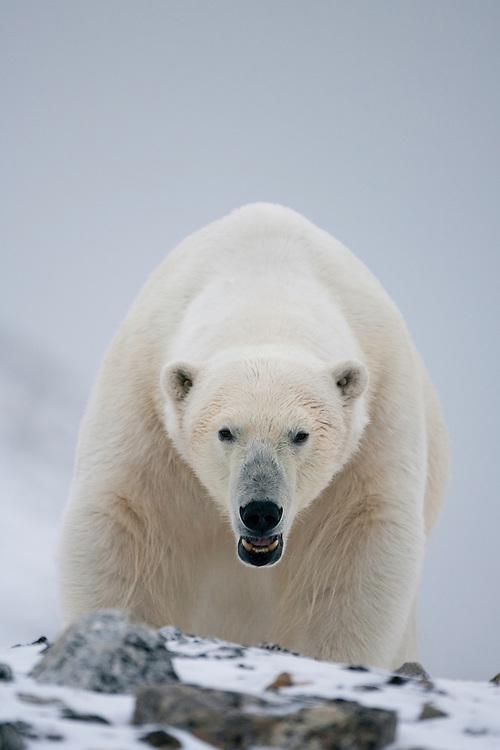 Polar bear (Ursus maritimus) close-up, Svalbard, Norway.