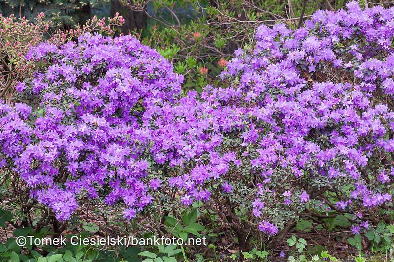 Rhododendron impeditum `Daviesii`
