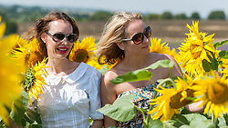 © Licensed to London News Pictures. 17/08/2016. Ickleford, UK. (L to R) Irina Postovalova and Izabela Napora enjoy the sunflowers in the summer sunshine at Hitchin Lavender farm.  The sunflowers, which have just started to flower, and lavender fields attract visitors who can pick the flowers to take home. Photo credit : Stephen Chung/LNP