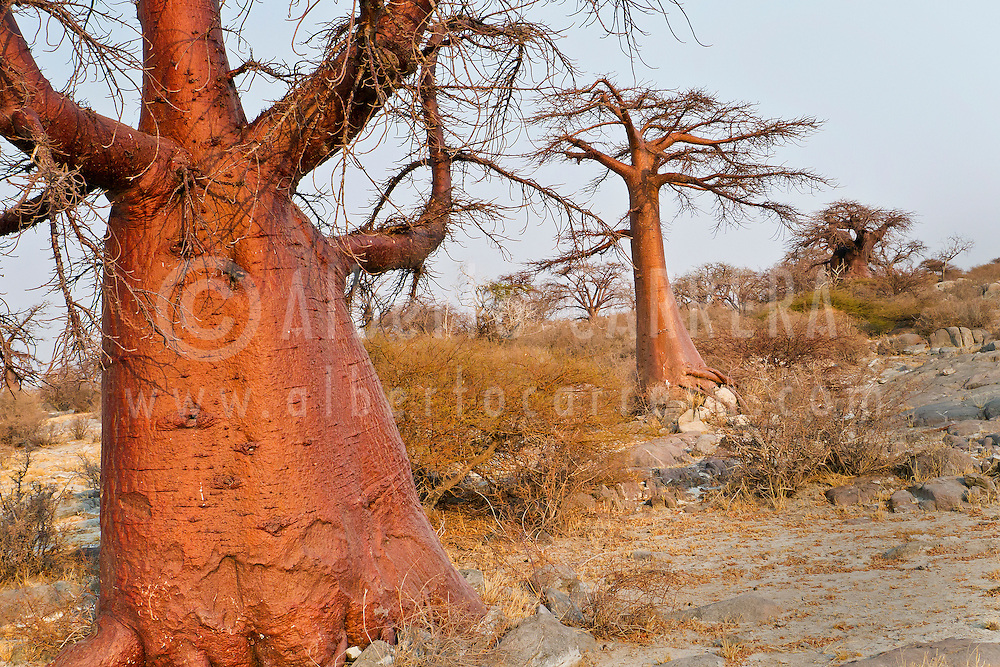 Alberto Carrera, Baobab, Adansonia digitata, Kubu Island, White Sea of Salt, Lekhubu, Makgadikgadi Pans National Park, Botswana, Africa