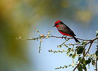Vermilion Flycatcher (Pyrocephalus rubinus) male perched in a tree, Jocotopec, Jalisco, Mexico