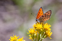 Lycaena cupreus lapidicola (Lustrous Copper) at Saddlebag Lake, Mono Co, CA, USA, on Rabbitbrush 21-Jul-12