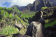 Nene Geese, Kalalau, Napali Coast, Kauai, Hawaii<br />
