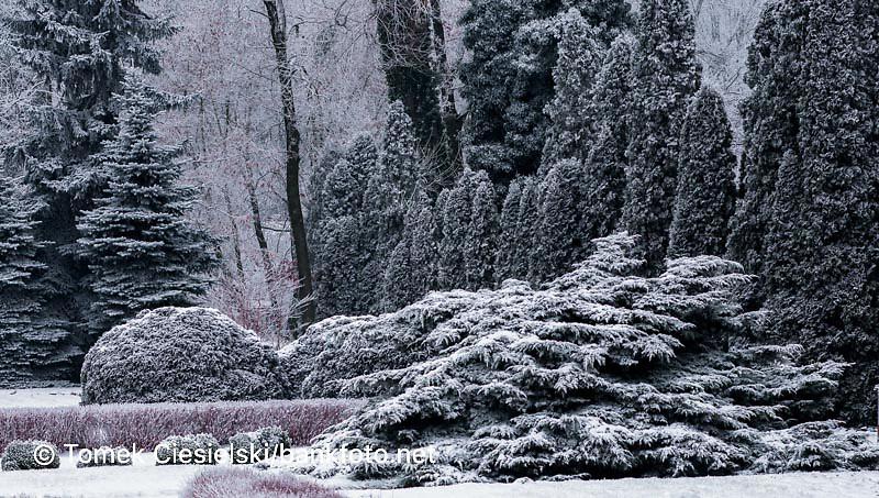 Winter conifers group in Poznan Botanic garden