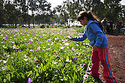 Israel, A field of spring wildflowers Anemone coronaria (Poppy Anemone). This wildflower can appear in several colours. Mainly red, purple, blue and white. Young girl of eight takes a picture of the flowers - Model release available