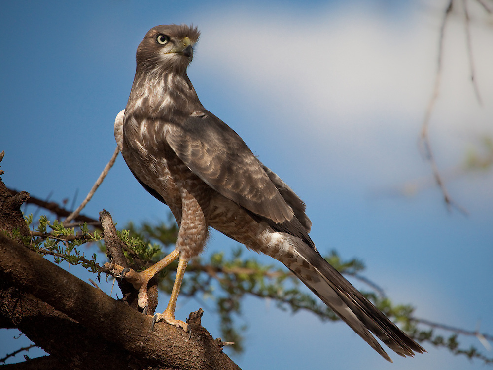 A hawk in Samburu, Kenya