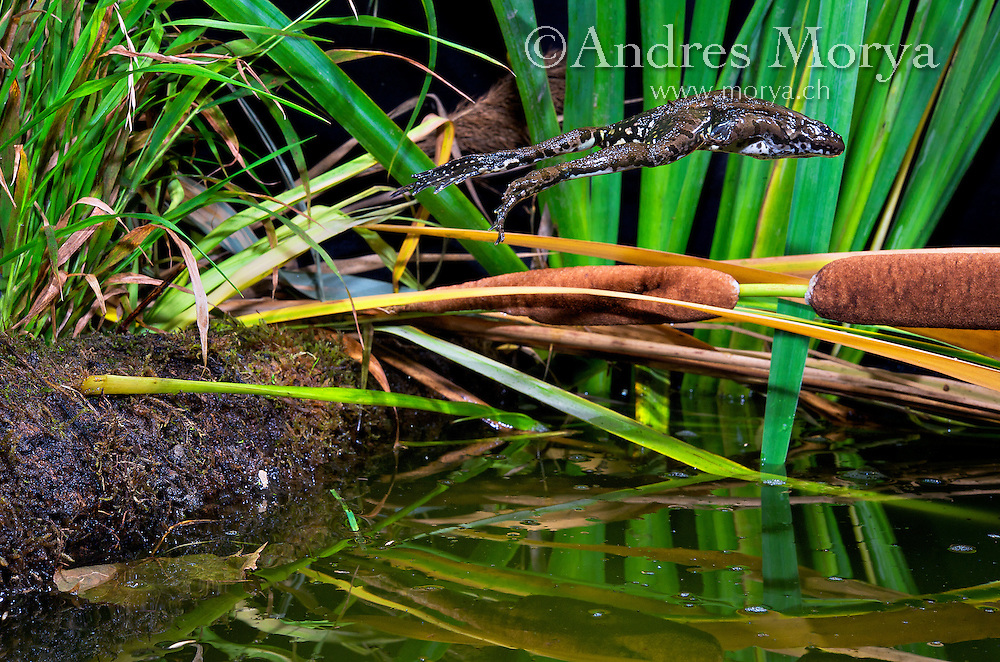 Marsh frog jumping (Pelophylax ridibundus), High Speed Photographic Technique, Switzerland<br /> <br /> <br /> Both powerful swimmers and amazing jumpers, they often just stand in the mud, ready to leap into deep water at the first sign of trouble and landing with a resounding plop. They are robust and warty members of the green frog group, have a laughing call and a talent for singing whose quality is judged by females waiting to mate. Europe's largest native frog (they can reach 17cm long) are now enlarging their range, partly naturally but mostly through being sold for garden ponds. Image by Andres Morya