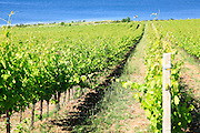 Grapevines in a vineyard. Photographed in Tuscany, Italy