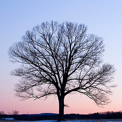 The bare branches of a maple tree in winter silhouetted against a dawn sky on a farm in Hadley, Massachusetts.