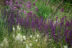 Rivers of salvias. Breaking Ground Garden, RHS Chelsea Flower Show 2017. Design: Andrew Wilson and Gavin McWilliam, Sponsored by: Darwin Property Investment Management Ltd