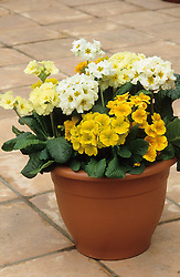 Polyanthus Rumba Daffodil Mixed in a container