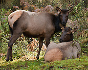Wild Roosevelt elk cows can be found here in Hoh Rain Forest on the Olympic Peninsula of Washington, USA and in other Pacific Northwest rain forests. The Roosevelt elk (or Olympic elk, Cervus canadensis roosevelti) is the largest of the four surviving subspecies of elk in North America. Elk protection helped motivate creation of the Mount Olympus National Monument in 1909, which later became Olympic National Park.