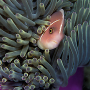 Pink Anemonefish, Amphiprion perideraion, Pattaya, Thailand