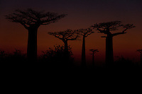 Late sunset shot of Baobab alley, Morondova, Madagascar.  These ancient and sacred trees line a dirt road in the middle of nowhere.