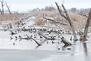 Mallards, Anas platyrhynchos, Brown County, South Dakota