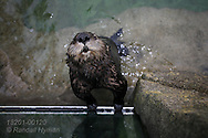 Curious sea otter peers upward from swim basin in Vancouver Aquarium; Vancouver, British Columbia, Canada.